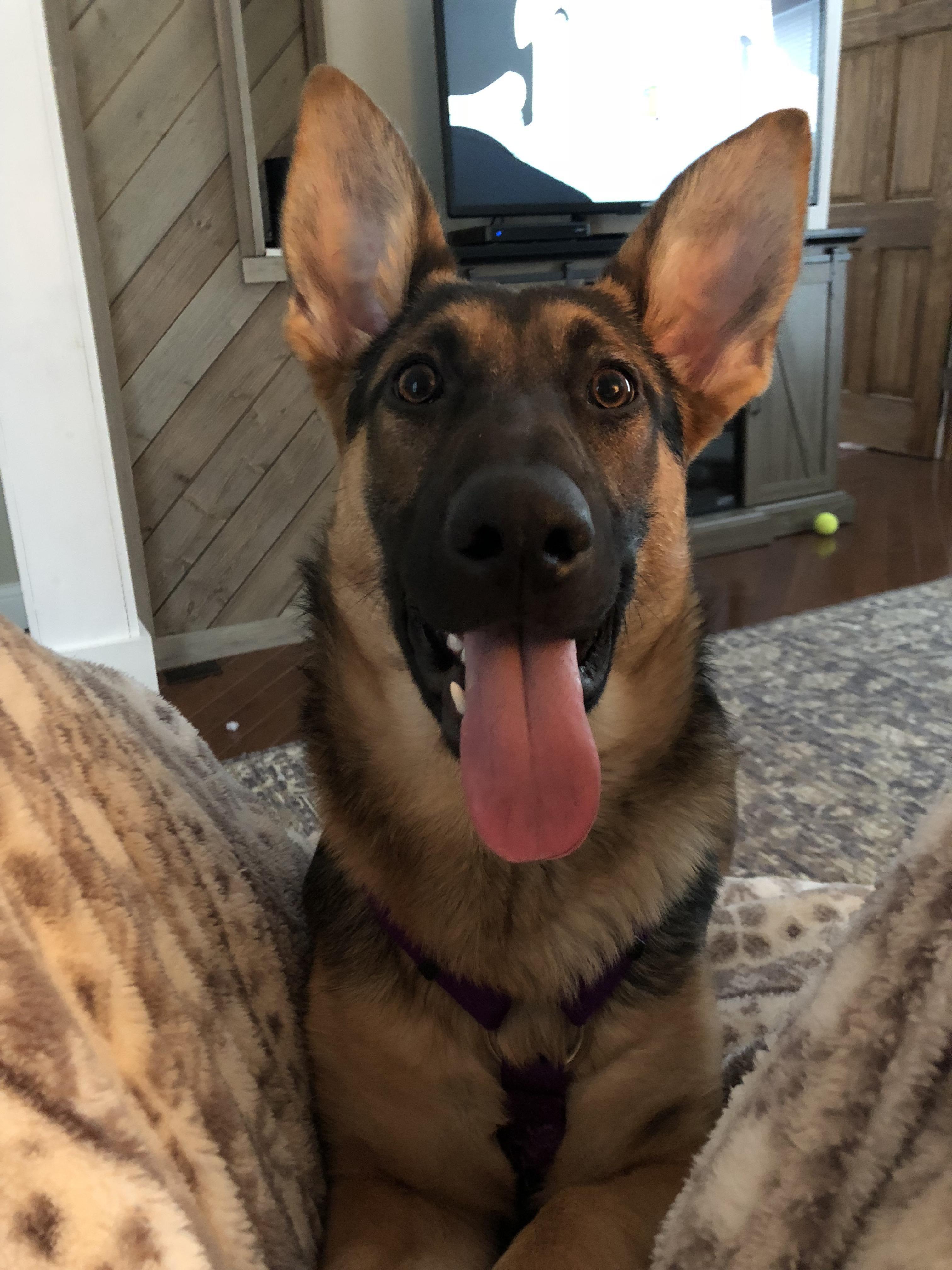 Pin by dj sona on chihuahua cute Rottweiler, German dog