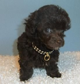 Chocolate Brown Teacup Poodle I Would Like One Of These How