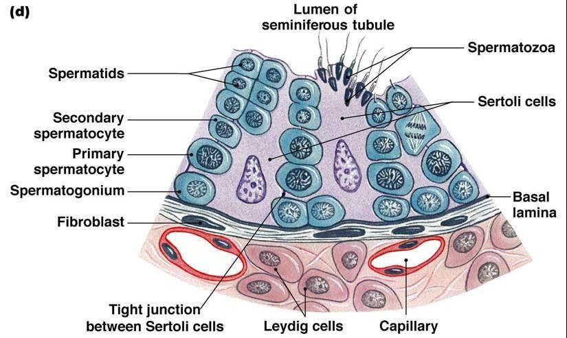 Seminiferous Tubules Scrotum Pinterest