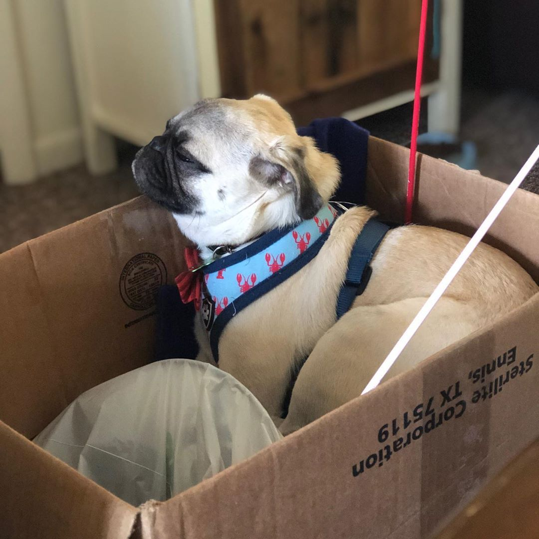 Adopt Chance On Pug Rescue Pugs Pugs For Adoption