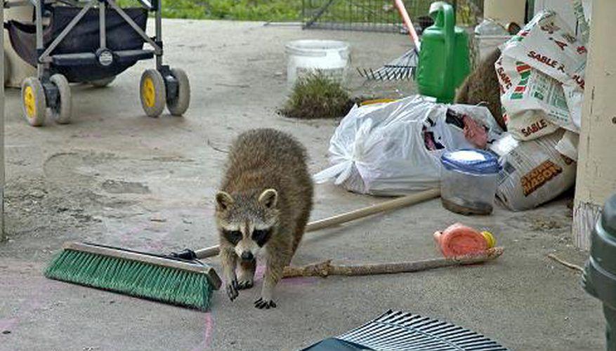 Raccoon Party in the Rafters Raccoon, Pet doors, Animals