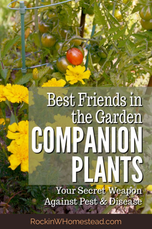 Companion Plants Your Secret Weapon Against Pests is part of Companion planting vegetables, Garden companion planting, Onion companion planting, Tomato companion plants, Companion planting, Companion gardening - Companion plants like being together, they are best friends in the garden  Get the companions for 10 of your favorite vegetable garden plants