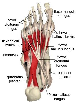 Image Result For Bottom Of Foot Anatomy Anatomy Pinterest