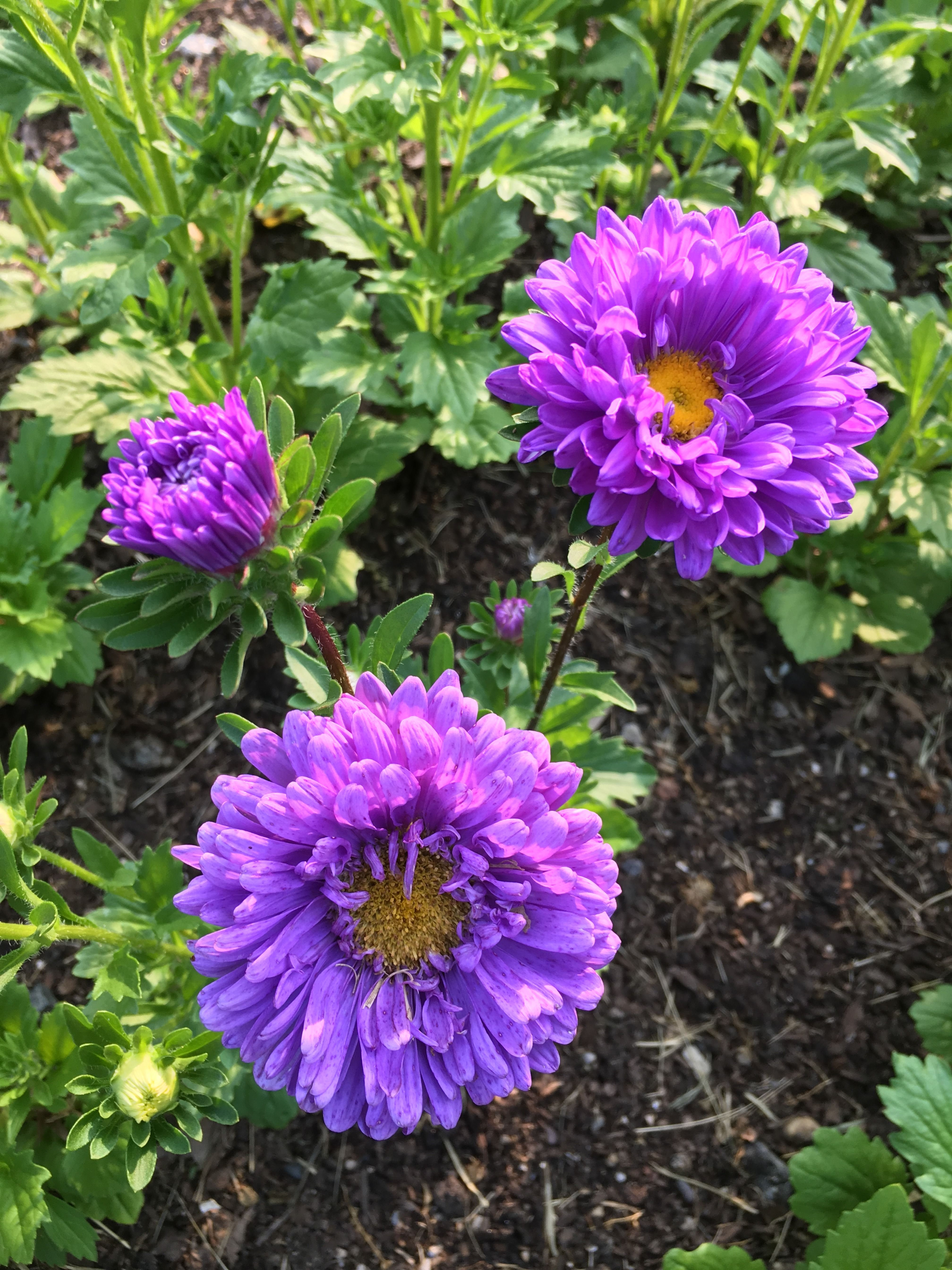 Purple China Asters grown at Love 'n Fresh Flowers, a