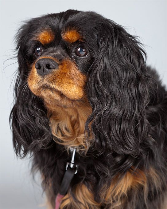 Cavalier King Charles Spaniel Dog Breed Information Pictures Characteristics Facts Dogtime King Charles King Charles Spaniel Cavalier King Spaniel