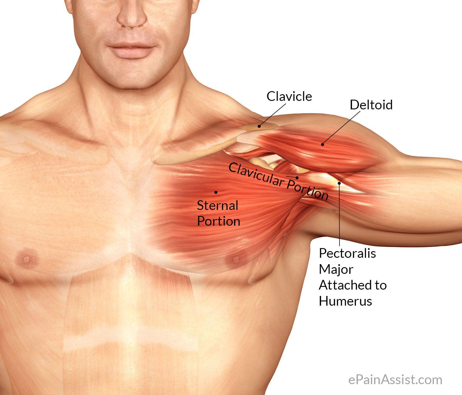 Pectoral muscle | Inspiration - Character framework | Pinterest ...