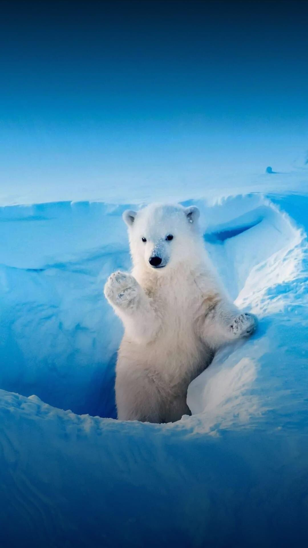 Patty On Twitter Baby Polar Bears Save The Polar Bears Cute Baby Animals