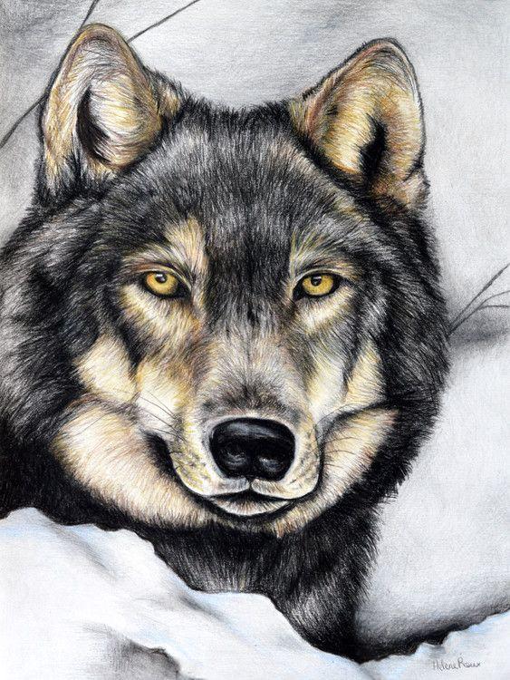 Dessin d 39 un loup gris r alis au crayon de couleur drawing a wolf realized with pastel - Tete de loup dessin ...