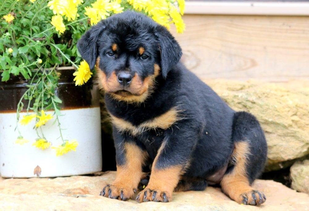 Darling Rottweiler Puppies For Sale Rottweiler Puppies Rottweiler
