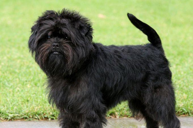 Black Small Affenpinscher Dog Affenpinscher Dog Dog Breeds Dog Breed Info