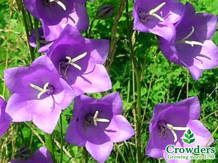 Campanula blue bloomers bellflower spreading perennial with dark cottage gardens evoke visions of billowy flowers growing into and through one another the first step is choosing the right plants mightylinksfo Images