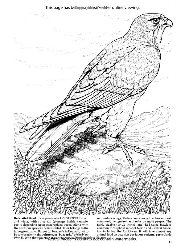 Birds Of Prey Coloring Book Dover Nature Coloring Book Amazon Co Uk John Green 9780486259895 Book Bird Coloring Pages Animal Coloring Pages Bird Drawings