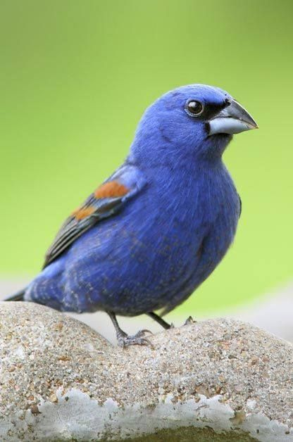 Grosbeak Azul. | Birds, Backyard birds, Bird species