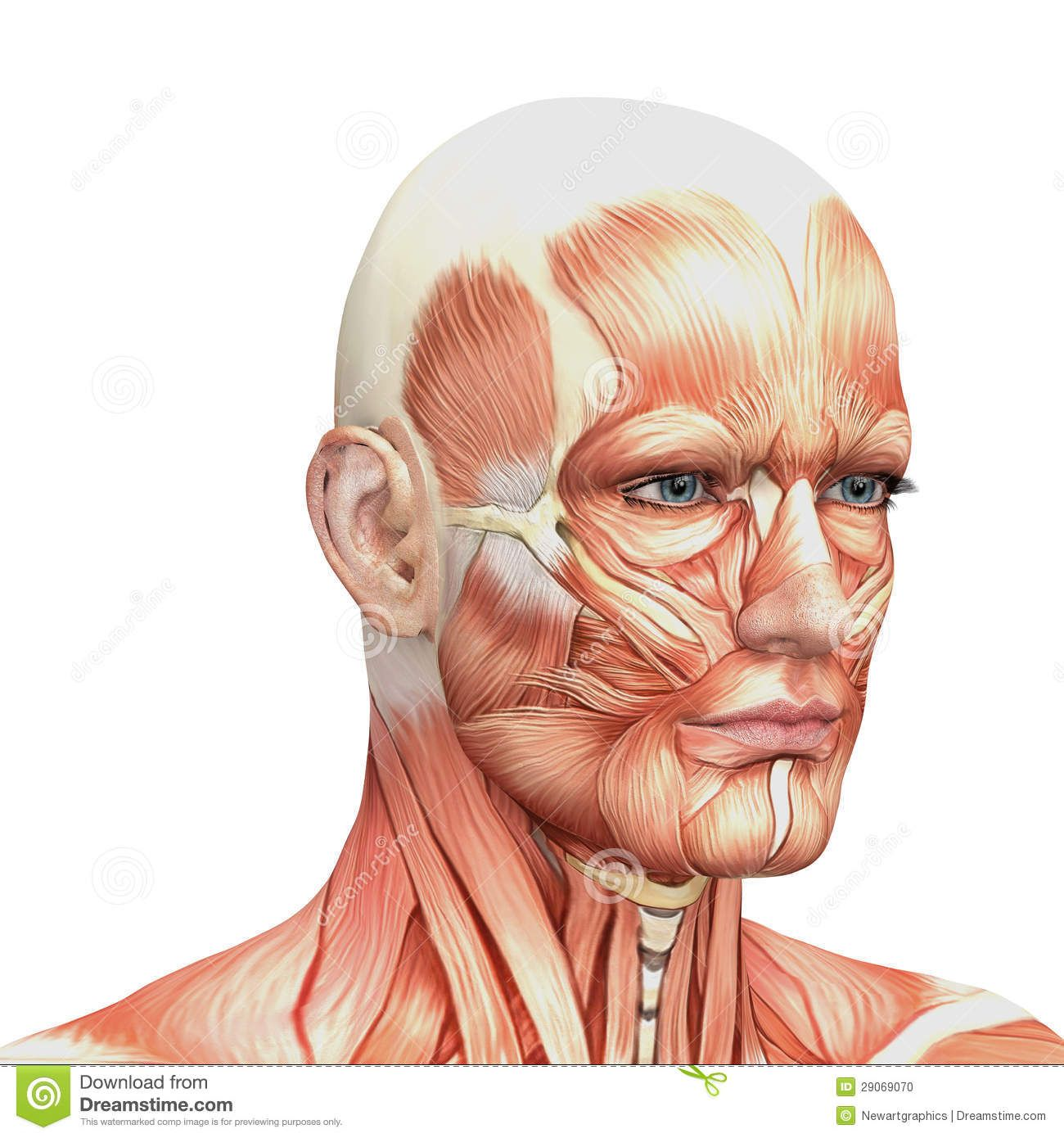 Image result for human face muscles | Montreal projects | Pinterest ...