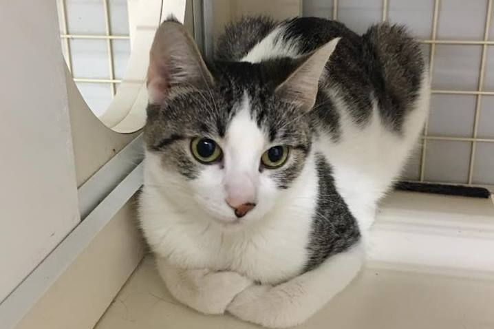 Booboo Is A 1 Year Old Female Cat Available For Adoption At The Petco Fridley She S Very Sweet And Good With Kids Animal Rescue Petco Cat Lady