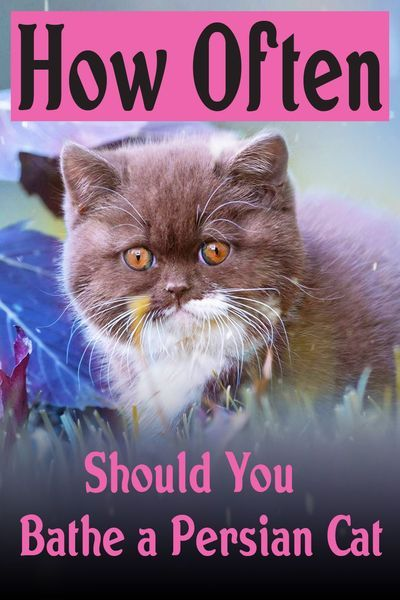 If you're the lucky owner of a Persian cat then you will be aware of the grooming that's required to keep your fluffy friends fur in tip-top condition. Many Persian cat owners ask themselves the question, how often should you bathe a Persian cat?  #persiancat #persiancats #catgrooming #catfacts #persiancatlovers  #persiancatsofig #persiancatlover #persiancatstagram #persiancatslovers  #persiancatlove #persiancatzlovers #persiancatworld #persiancatcute