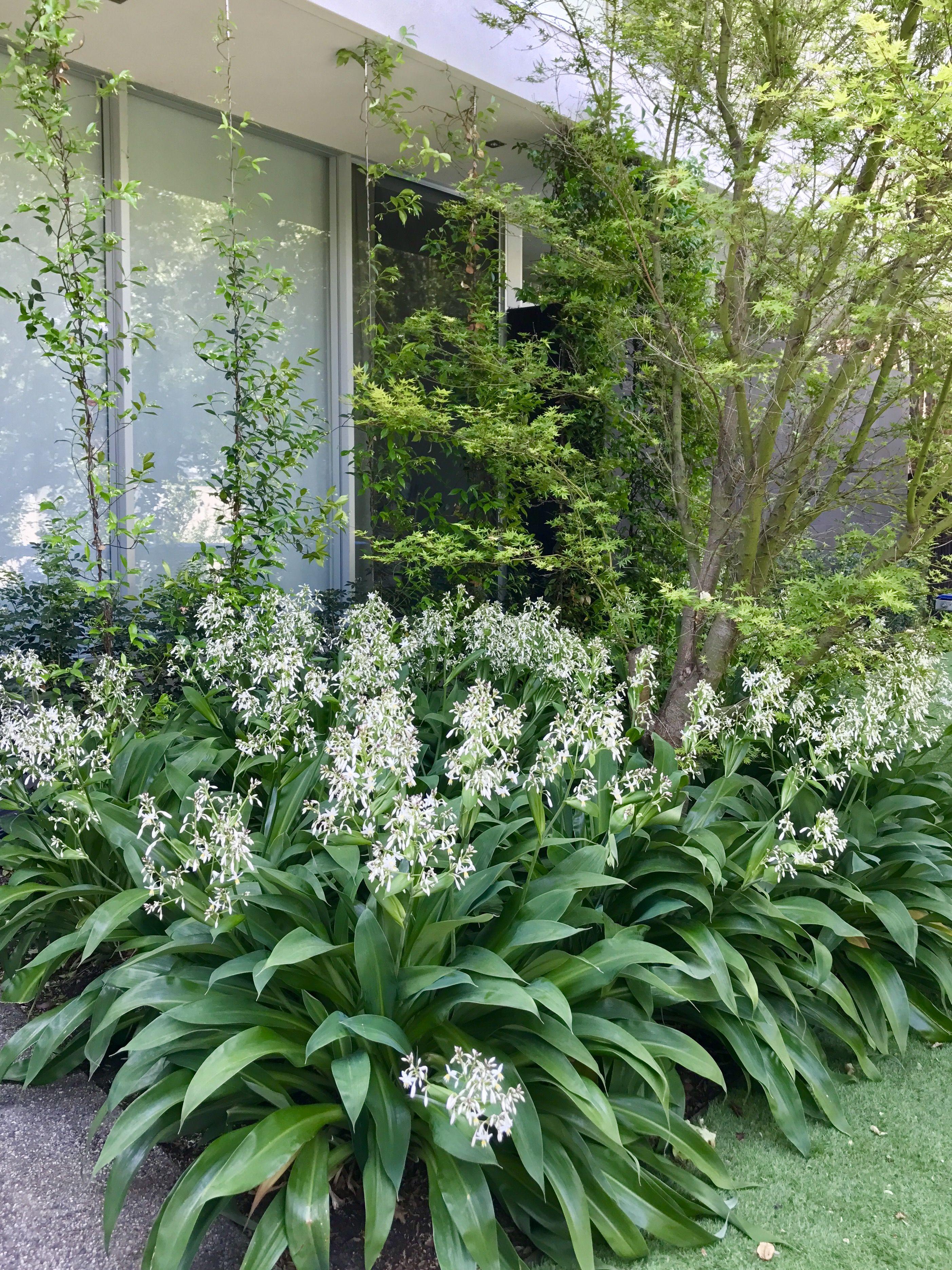 NZ Rock Lily Arthropodium Nadia Gill Landscape Architect