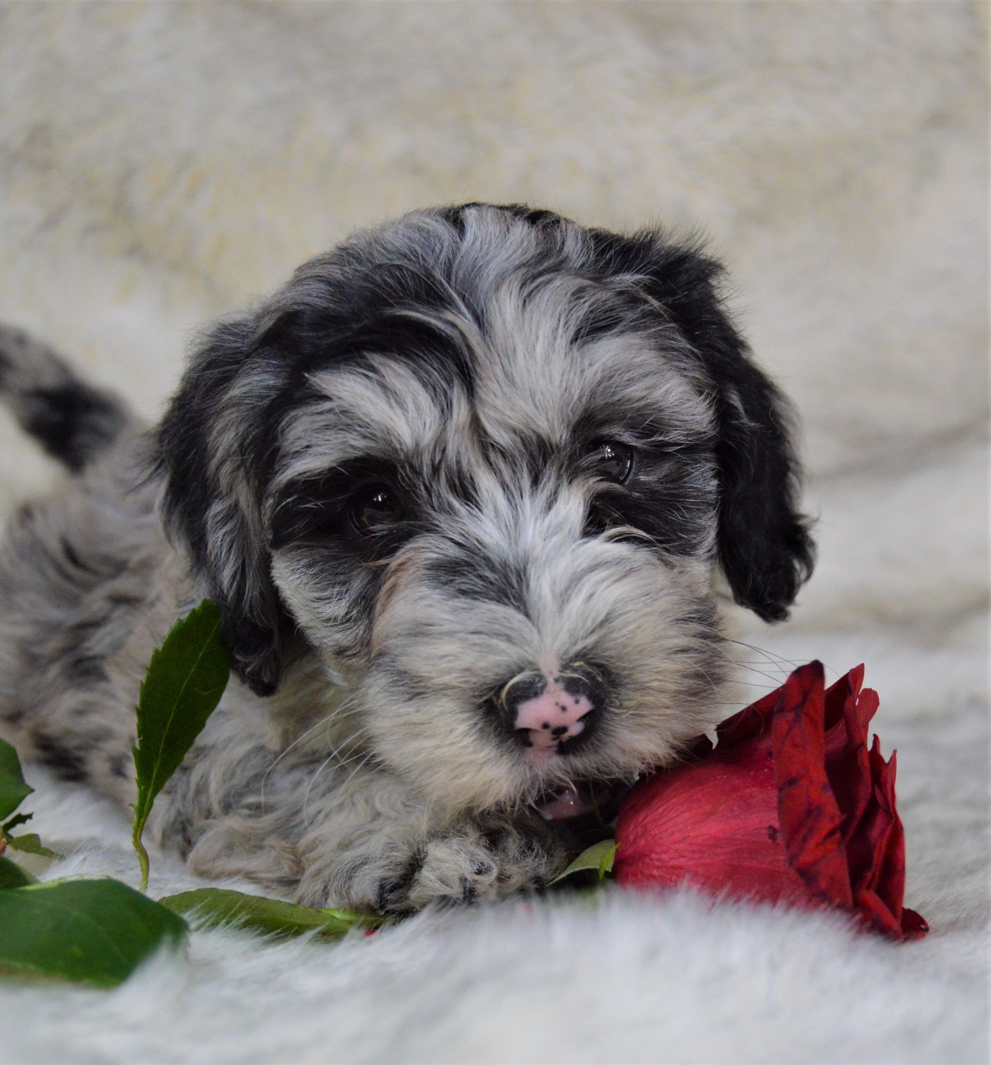 Playful Sweet Absolutelyadorable These Minisheepadoodle Pups Are Sure To Be The Cutest Pick From Th In 2020 Sheepadoodle Puppy Dog Friends Sheepadoodle