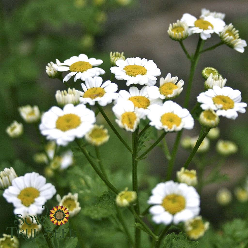 Herb Feverfew Herb Garden Easy Garden Herbs