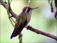 Speckled Hummingbird (Adelomyia melanogenys).