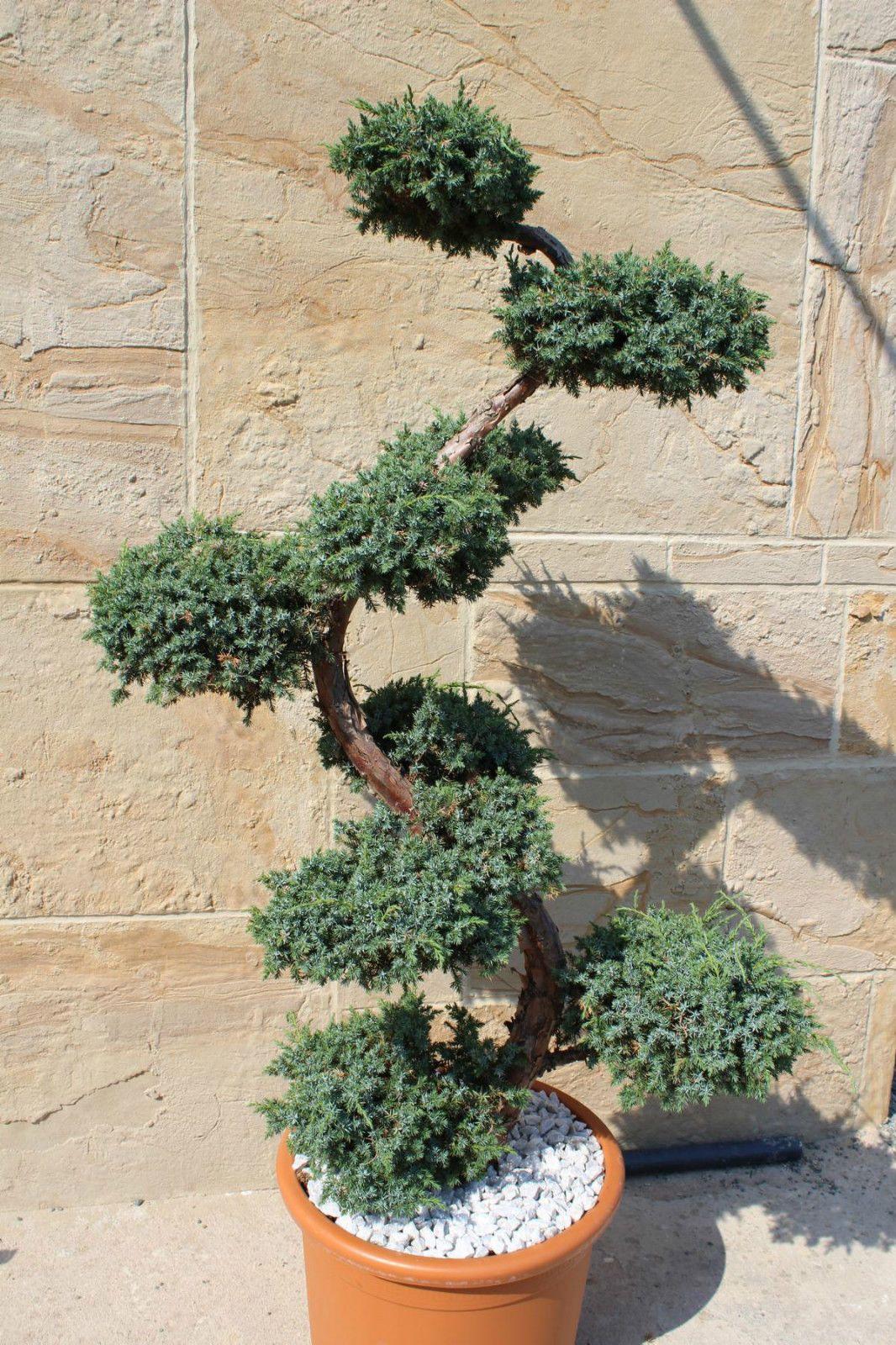 Juniperus Squa Blue Carpet Wacholder Bonsai S Topiaries Bonsai 160cm Ebay Japanese Garden Trees To Plant Plants