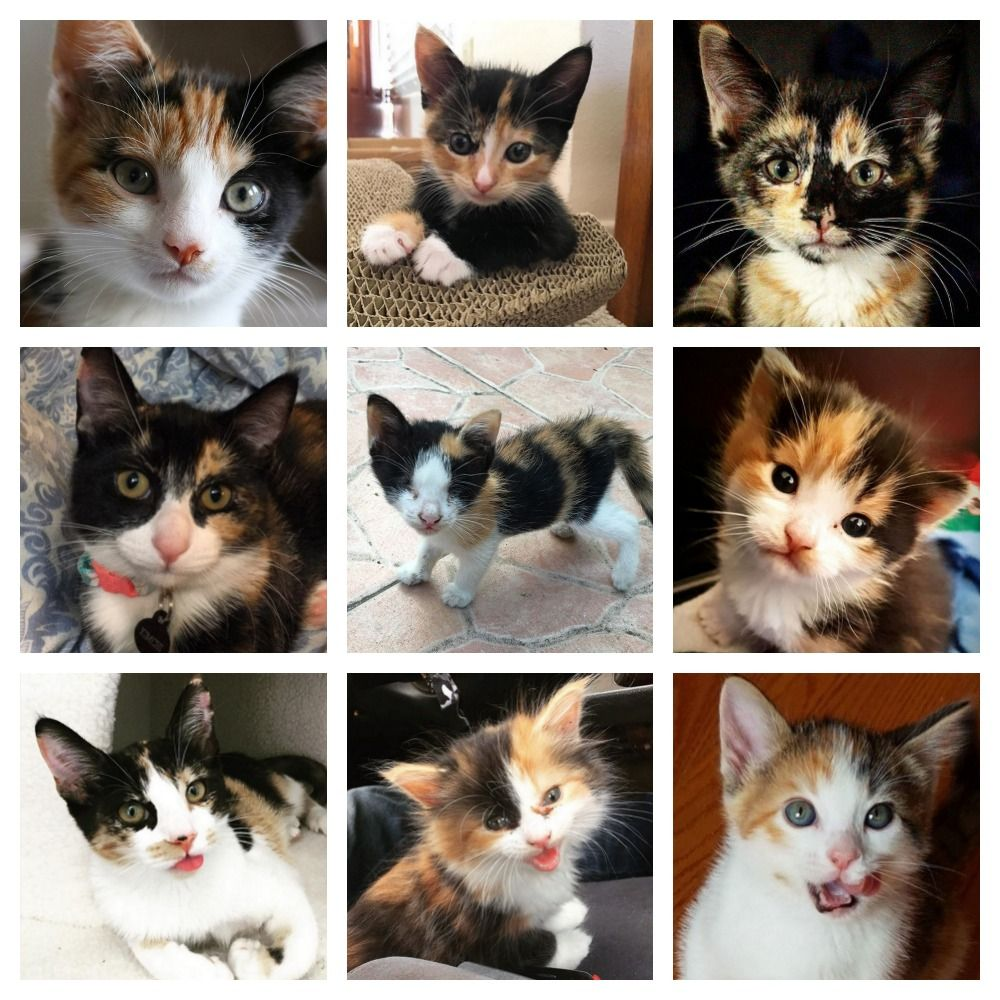 Cute Calico Kittens To Brighten Your Day Calico Kitten Kittens Calico