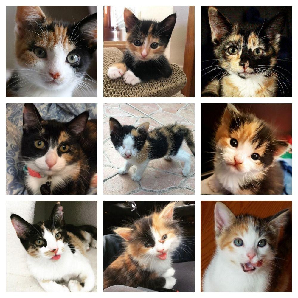Chicago Il Calico Meet Sarah A Kitten For Adoption Http Www Adoptapet Com Pet 11811750 Chicago Illinois Kitten Kitten Adoption Pet Adoption Cat Fleas