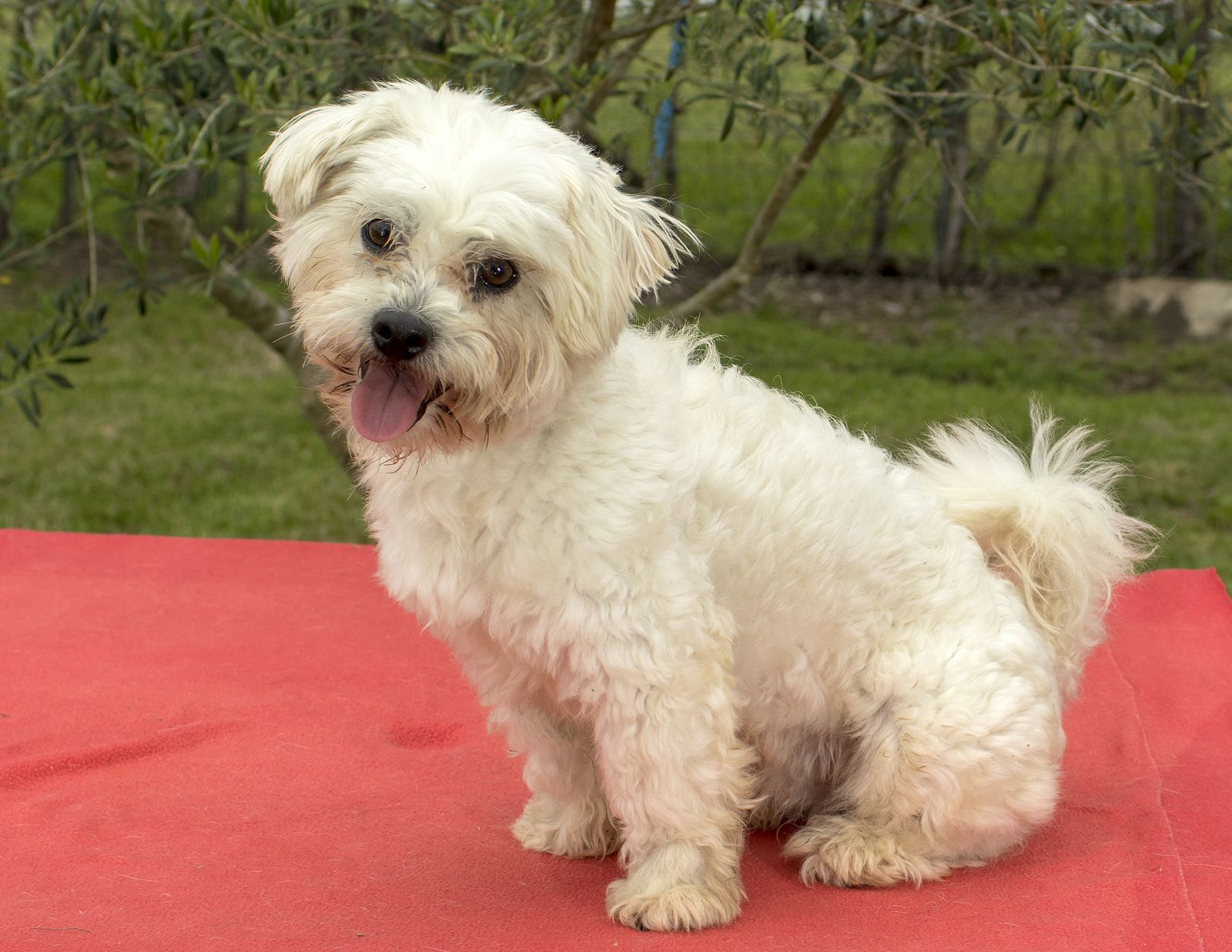 Maltipoo Dog For Adoption In Santa Fe Tx Adn 817277 On