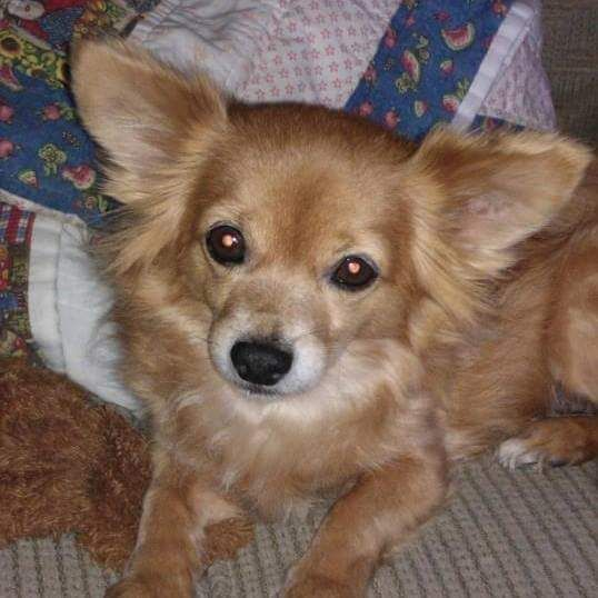 Lost Dog Chihuahua Long Haired Citra Fl United States