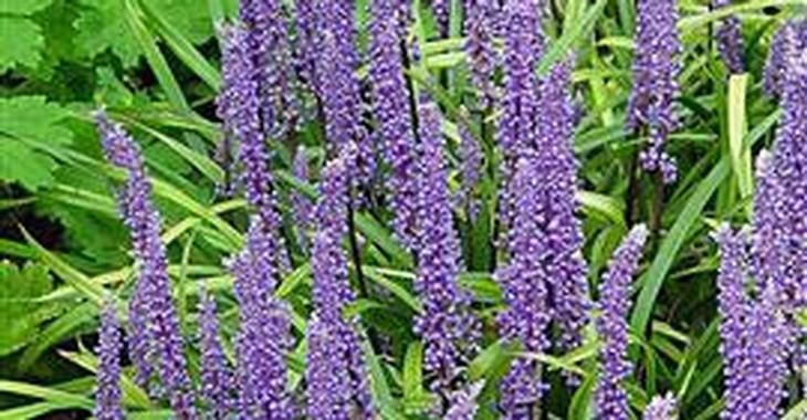 Liriope muscari 'Moneymaker' op vasteplant.be
