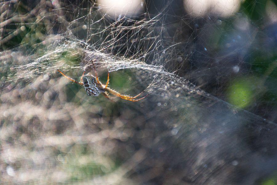 Cyrtophora Mollucencis: Tent Building Spider 2