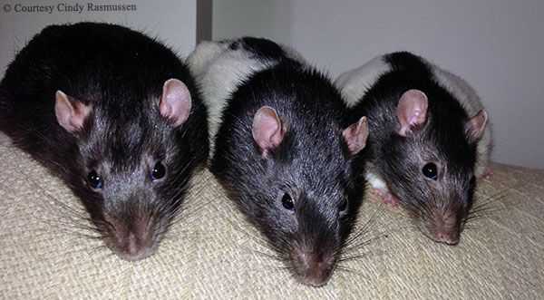 Life With Your First Pet Rat Rat Owners Share The Joys Challenges And Unexpected Fun Of Owning Pet Rats Patricia Knight Fo Pet Rats Small Pets Pets