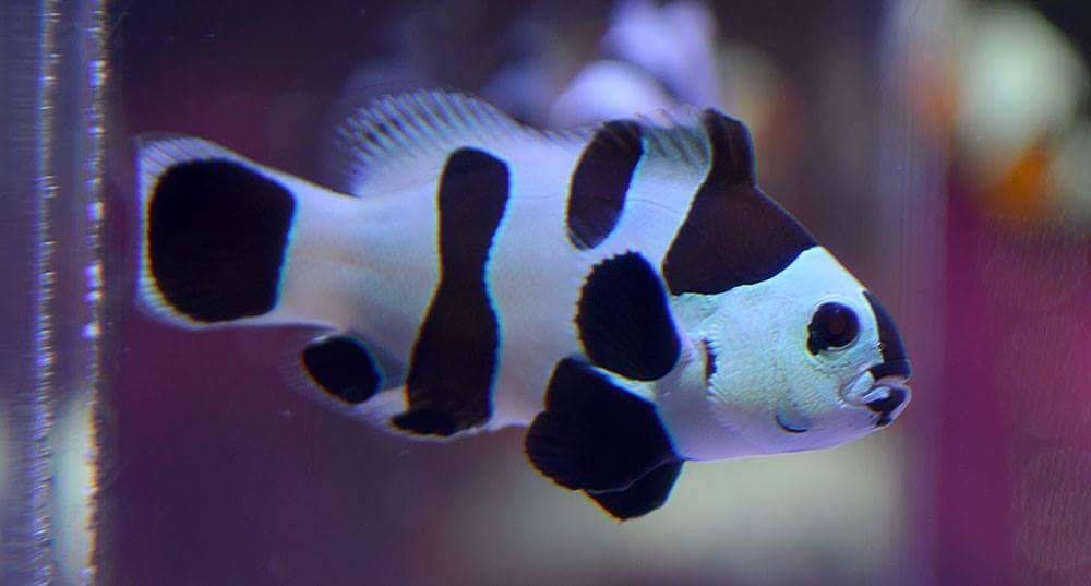 Black Storm Clownfish Are The Latest Craze In Designer Clowns What Makes Them So Special We Dive Into The Subject Clown Fish Pet Plan Reef Tank