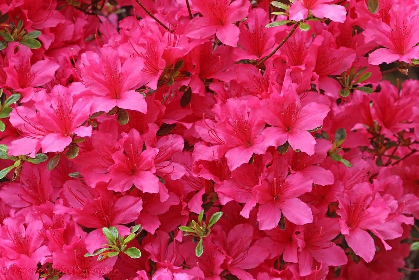 50 Wonderful Azalea Flowers Pictures Golfian Com In 2020 Azalea Flower Beautiful Flowers Flowers