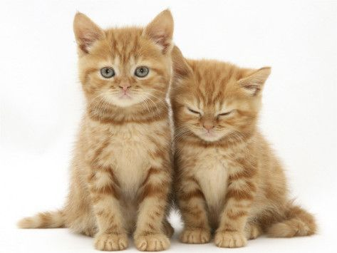 Two Ginger Domestic Kittens Felis Catus Photographic Print By