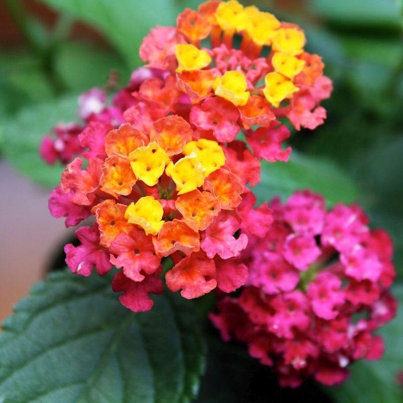 Image Result For Lantana Irene Lantana Lantana Flower Lantana Plant