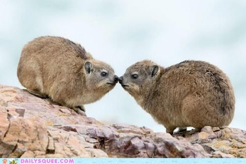 Rock hyraxes
