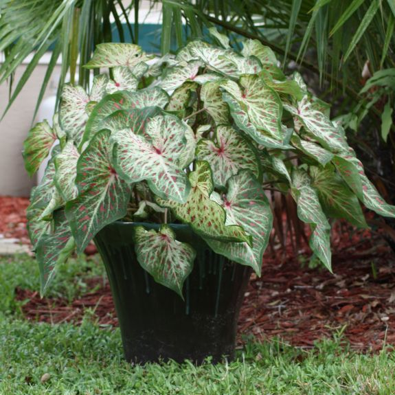 Gingerland Caladium Dwarf Caladiums Are Good Companions For