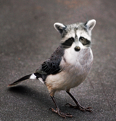 Raccoon Bird Animal mashups, animals, Fake