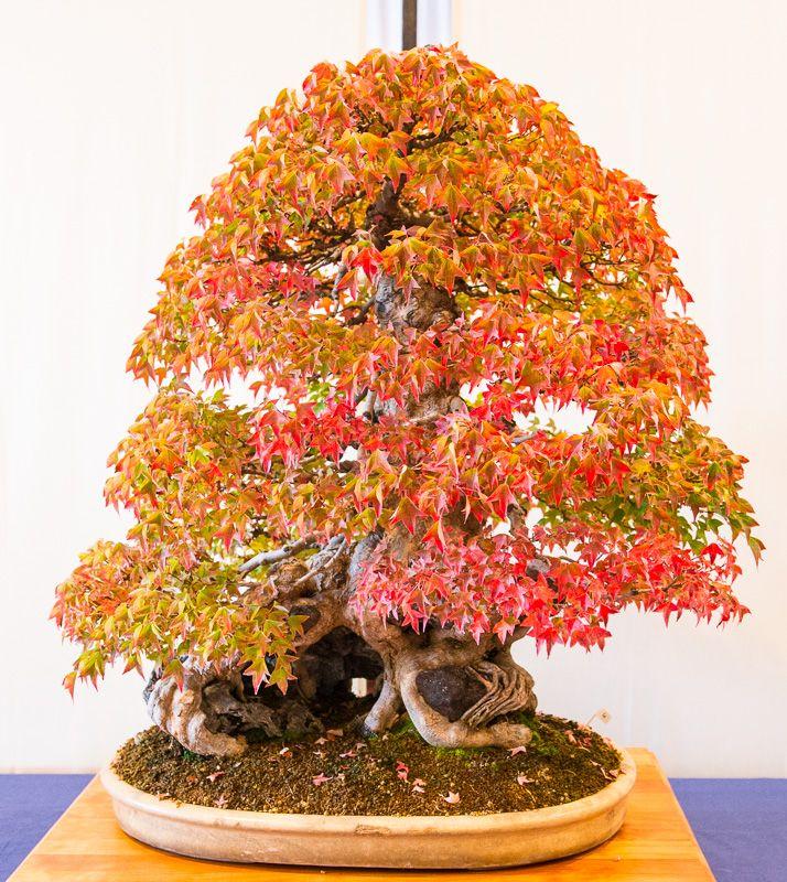 Dreispitzahorn Acer Buergerianum Im Herbstlaub Bonsai Bonsai