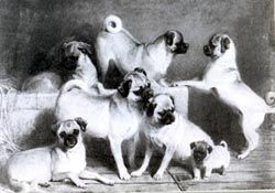 A Family Of Pugs A Painting Of Queen Victoria S Pugs By Charles