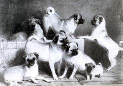 Http Www Pugalug Com Images Art5 Jpg Pug Puppies Price Pug