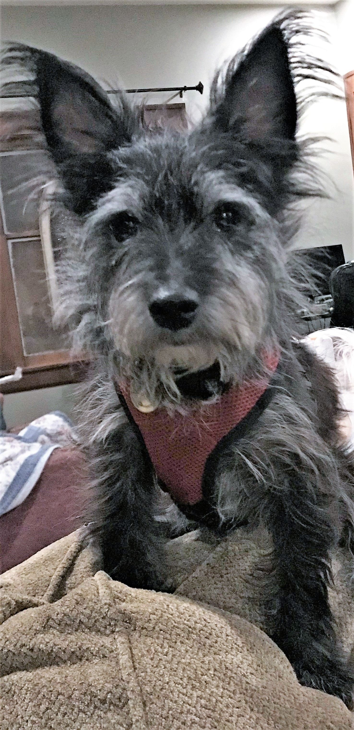 adopt micki on | rescue dogs | dogs, cairn terrier, adoption