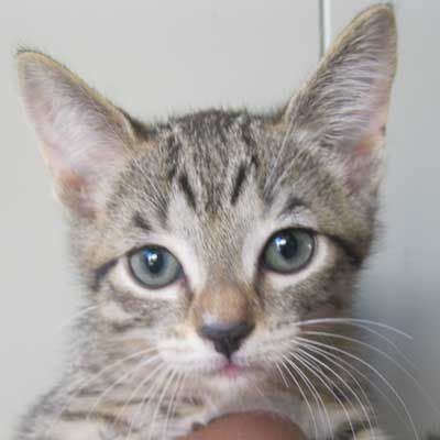 This Is Lil Peanut And She S A Tabby Kitten Up For Adoption In Sandiego Animals Cat Adoption Pet Adoption