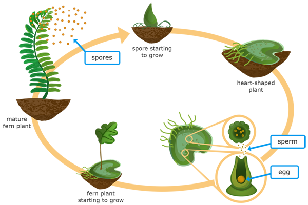 Ixl Moss And Fern Life Cycles 5th Grade Science Practice Fern Life Cycle Plant Life Cycle Life Cycles