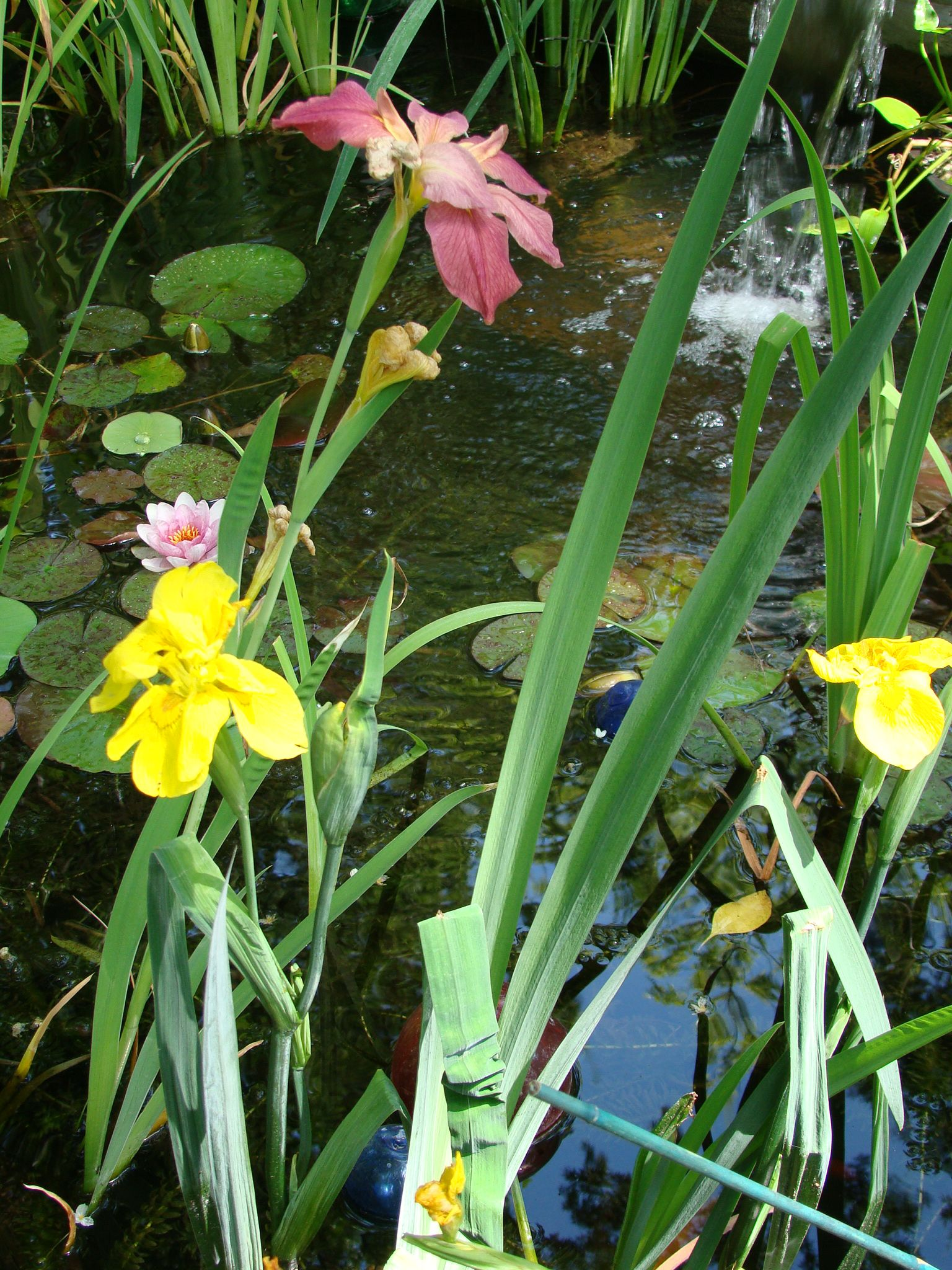 Late Spring Pond Iris Blooms Note The Pink Waterlily And Colored