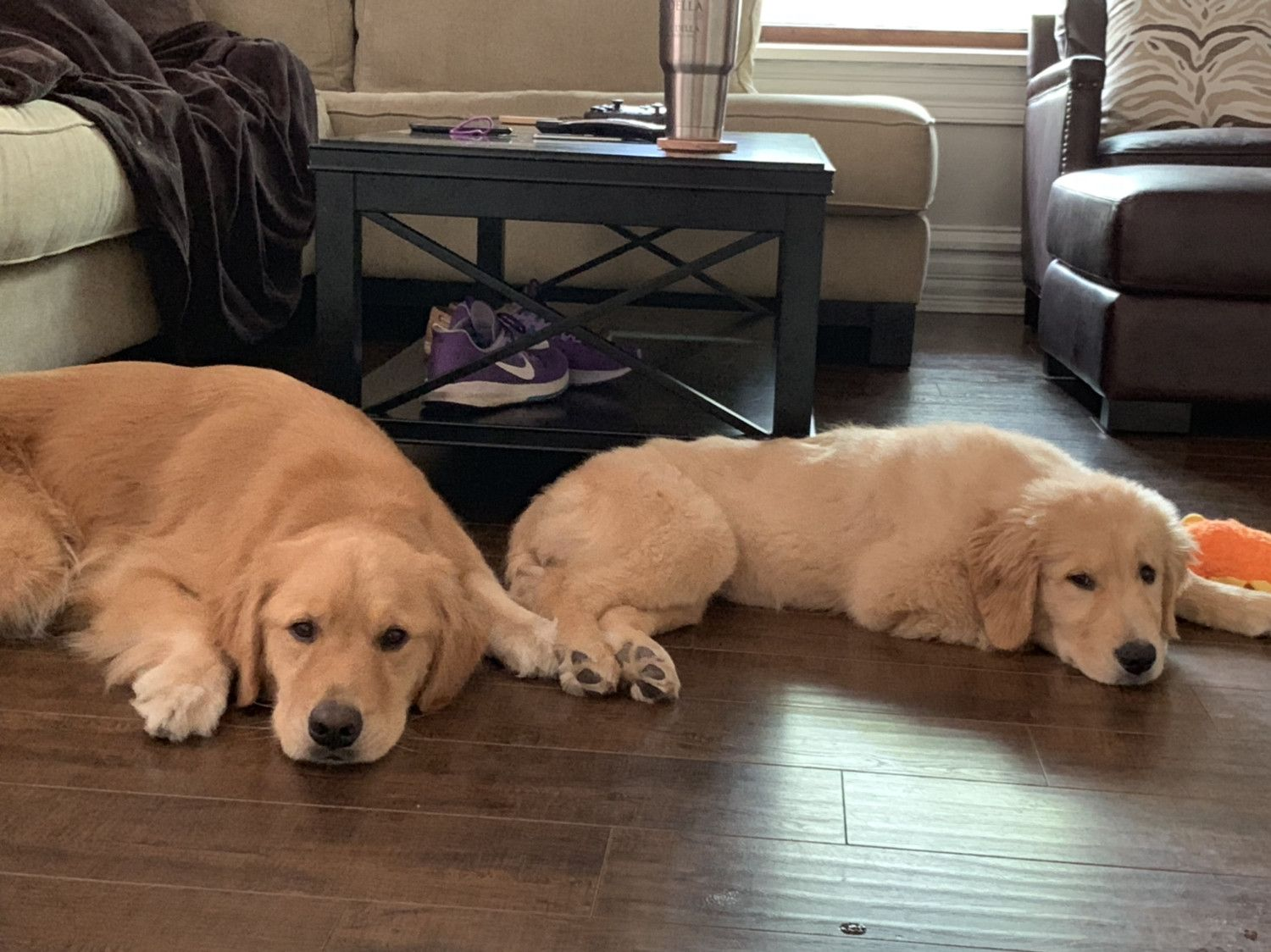 Sleepy Saturday Goldenretriever Golden Retrievers Dogs Golden