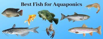 what are the best fish to use in indoor plant hydroponics  Google Searchfish