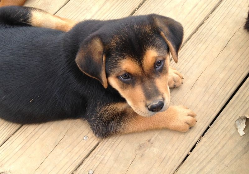 golden retriever puppies rescue massachusetts