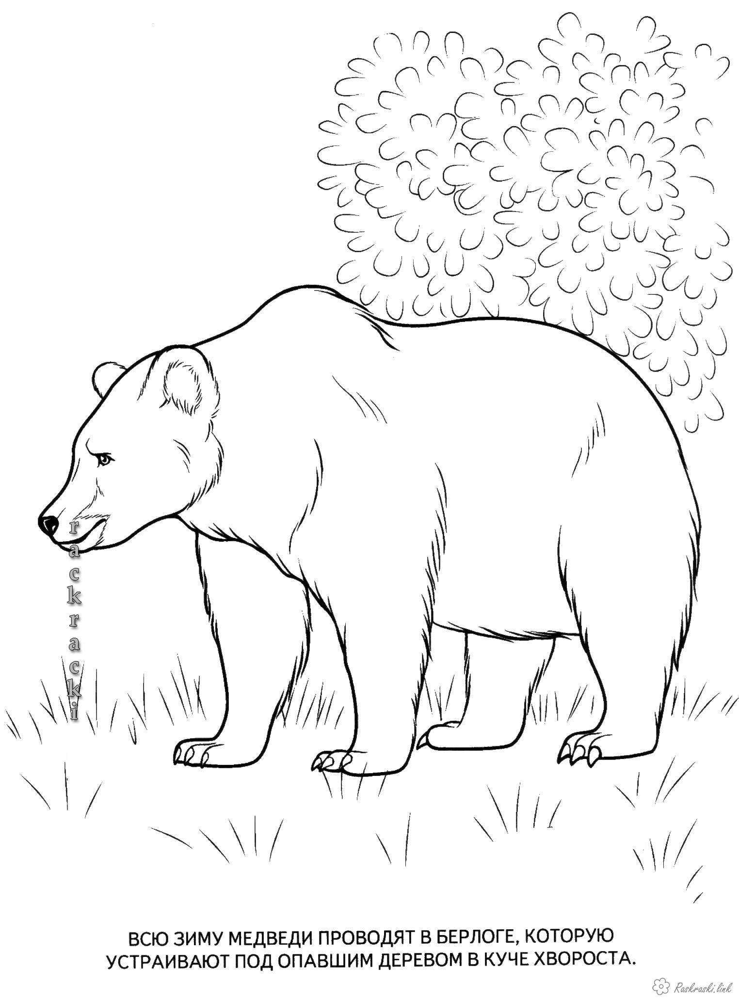 раскраска медведь медведь в лесу раск